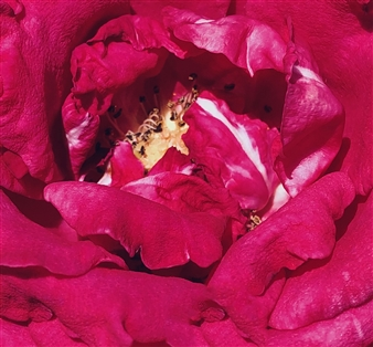 Abbey Mubiru - Crimson Archival Pigment Print, Photography