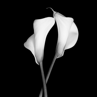 Gianluca Pollini - Two Calla #4 Photograph on Fine Art Paper, Photography