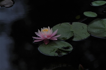 Wolf Spicer - Water Lilly Archival Pigment Print, Photography