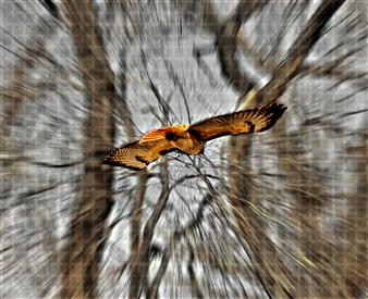 Howard Harris - Hawk Eye Digital Print on Aluminum, Digital Art