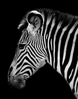 Gianluca Pollini - Zebra Photograph on Fine Art Paper, Photography