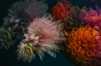 Heather Bragman - Finding Truth, Dahlias No. 2 Photograph on Hahnemühle Paper, Photography