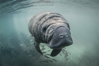Ellen Cuylaerts - Manatee Calf Photograph on Fine Art Paper, Photography