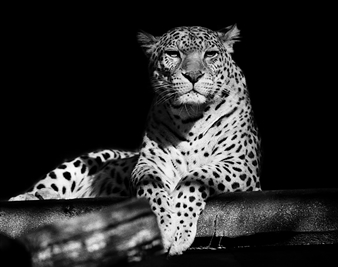 Gianluca Pollini - Leopard Photograph on Fine Art Paper, Photography