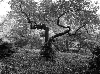 Carolyn Rogers - Central Park Tree Platinum/Palladium Photograph, Photography