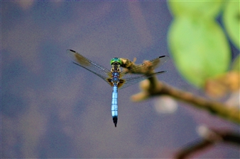 Wolf Spicer - Blue Dragonfly Archival Pigment Print, Photography