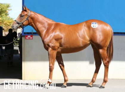 Not A Single Doubt x Millenium Star Filly conformation