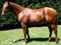 Military Manor (Pendragon x Cleobelle colt as a yearling)