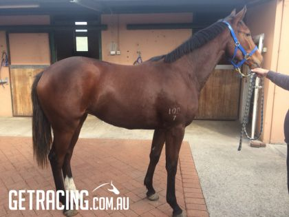 All Too Hard Filly - Looks like being an early 2YO - Over 15hh and still a yearling!