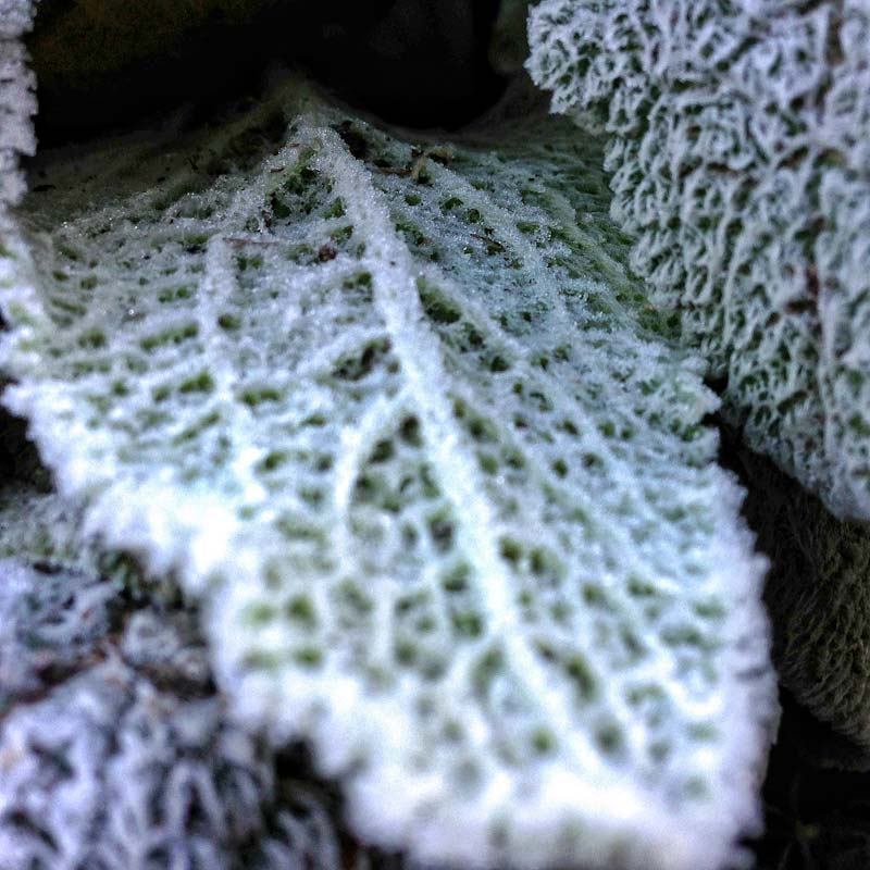 Frosted Lambs ear (Stachys byzantina) on a winter morning in Kentucky.