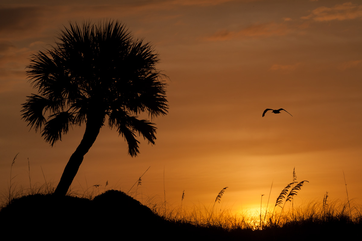 A seagull flies over the dunes at Sunset