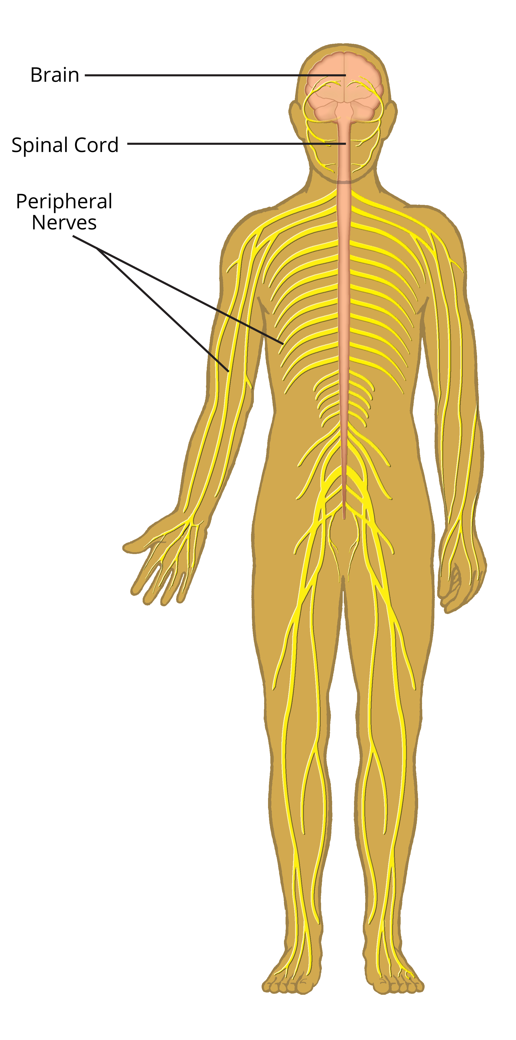 About The Nervous System Axogen Inc Axgn