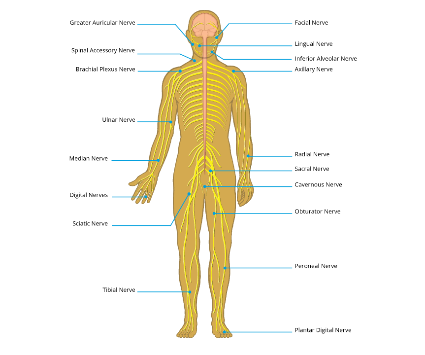 Peripheral Nerve Injury Map Axogen Inc Axgn