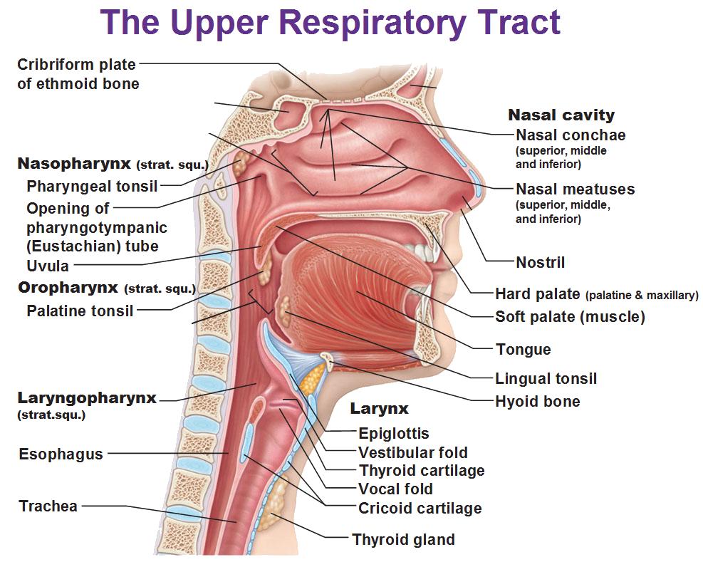 Severe Oral Mucositis And Oropharyngeal Cancer Monopar