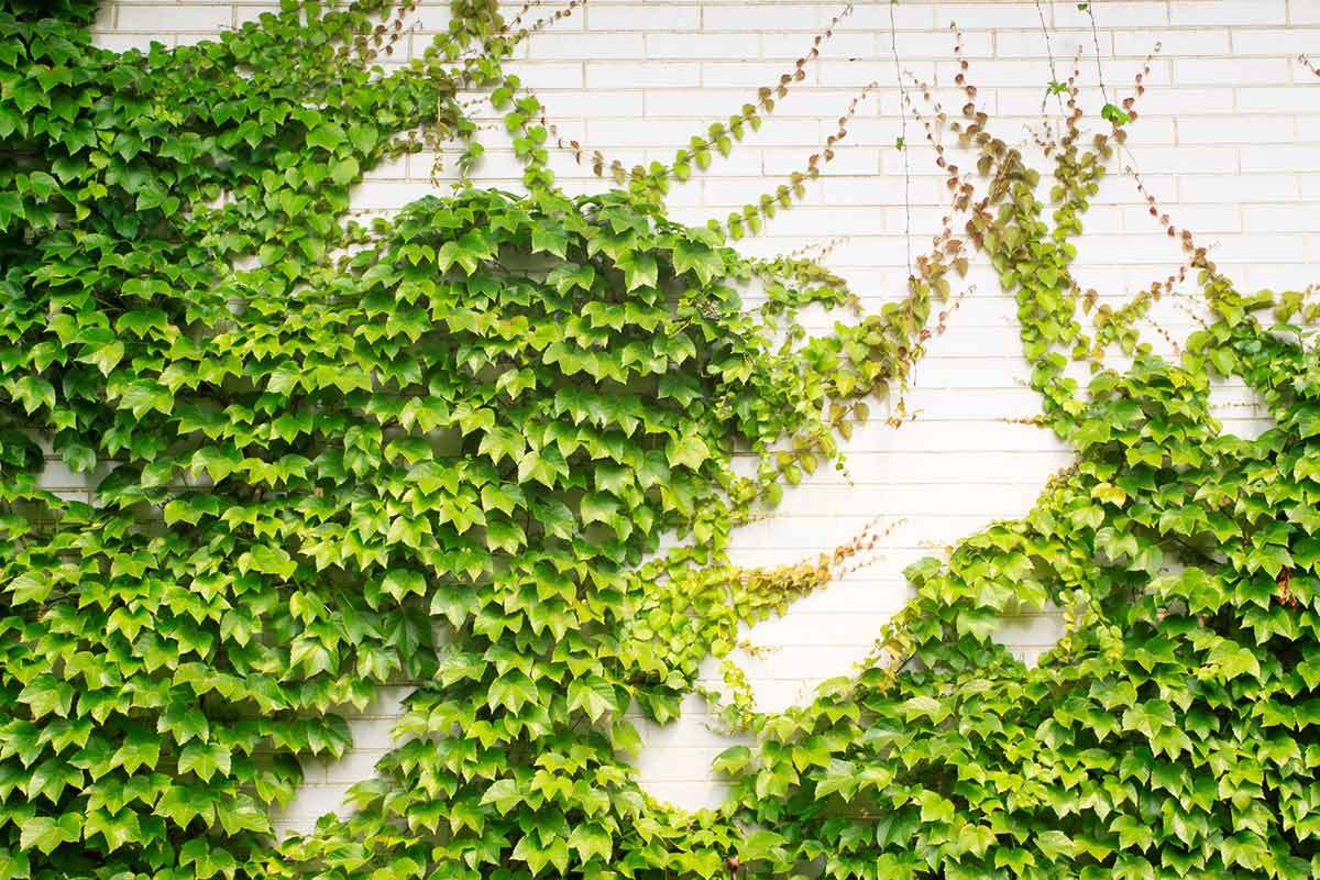 evergreen wall climbing plants for shade and privacy, Natural flower