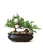 Bonsia_tree