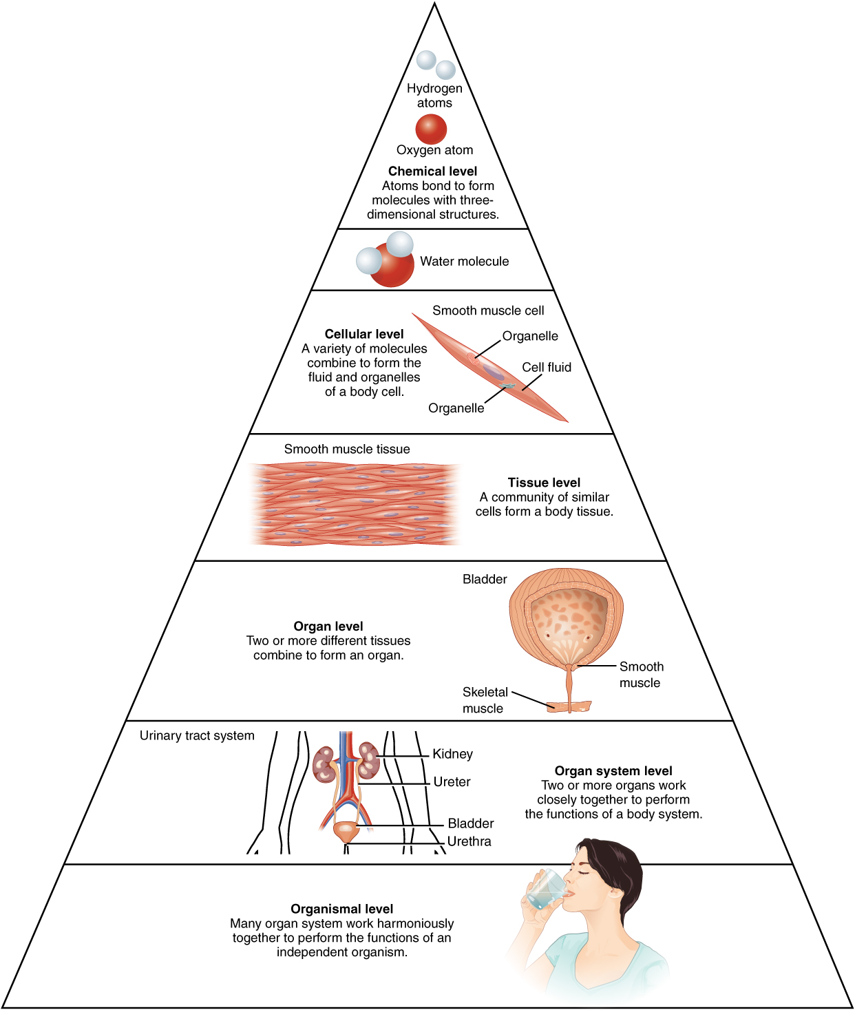 Anatomy and Physiology - Structural Organization of the Human Body