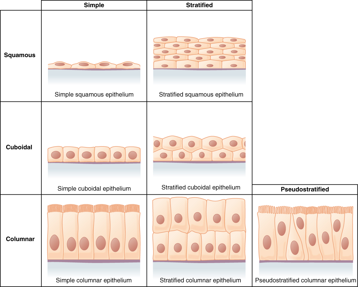 Anatomy and Physiology - Epithelial Tissue