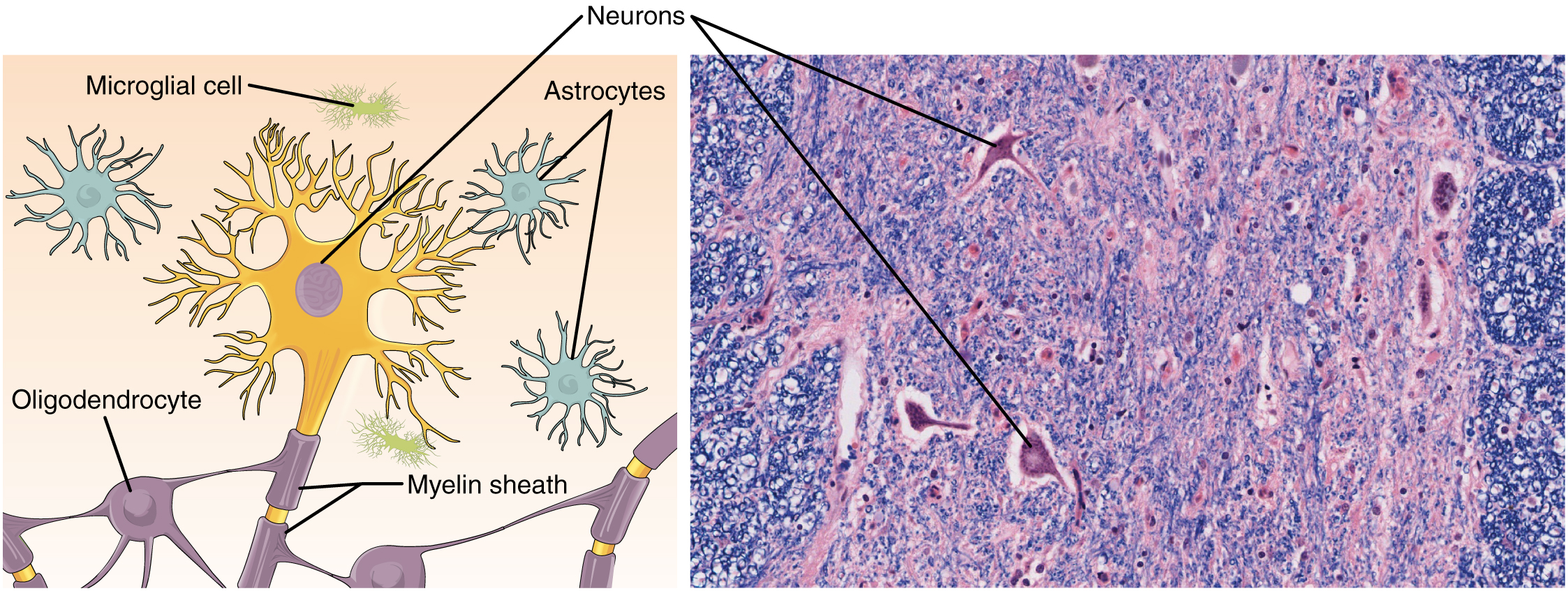 Anatomy and Physiology - Nervous Tissue Mediates Perception and Response