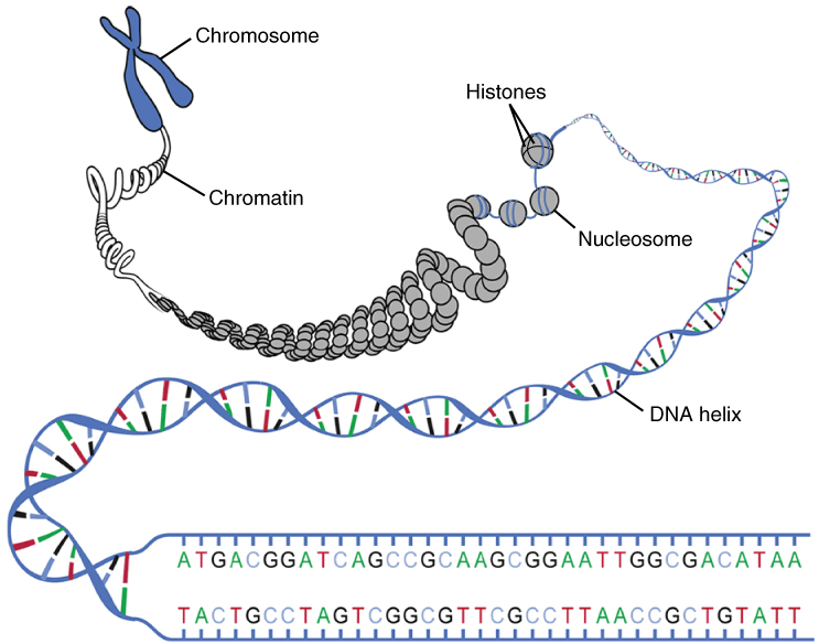 Is chromatin a DNA strand not yet in the form of chromosomes? | Socratic