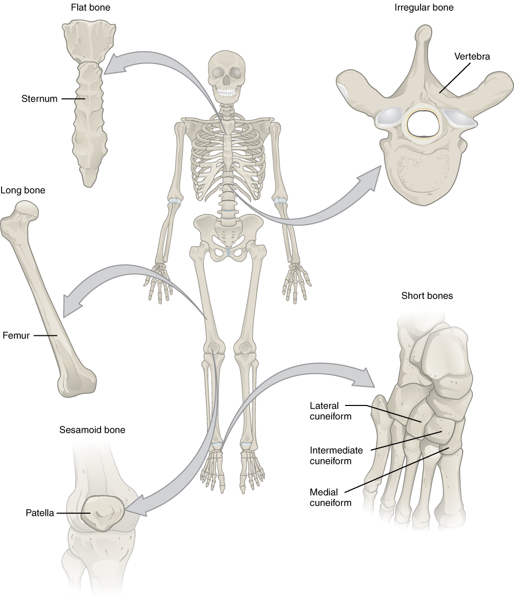 Anatomy and Physiology - Bone Classification