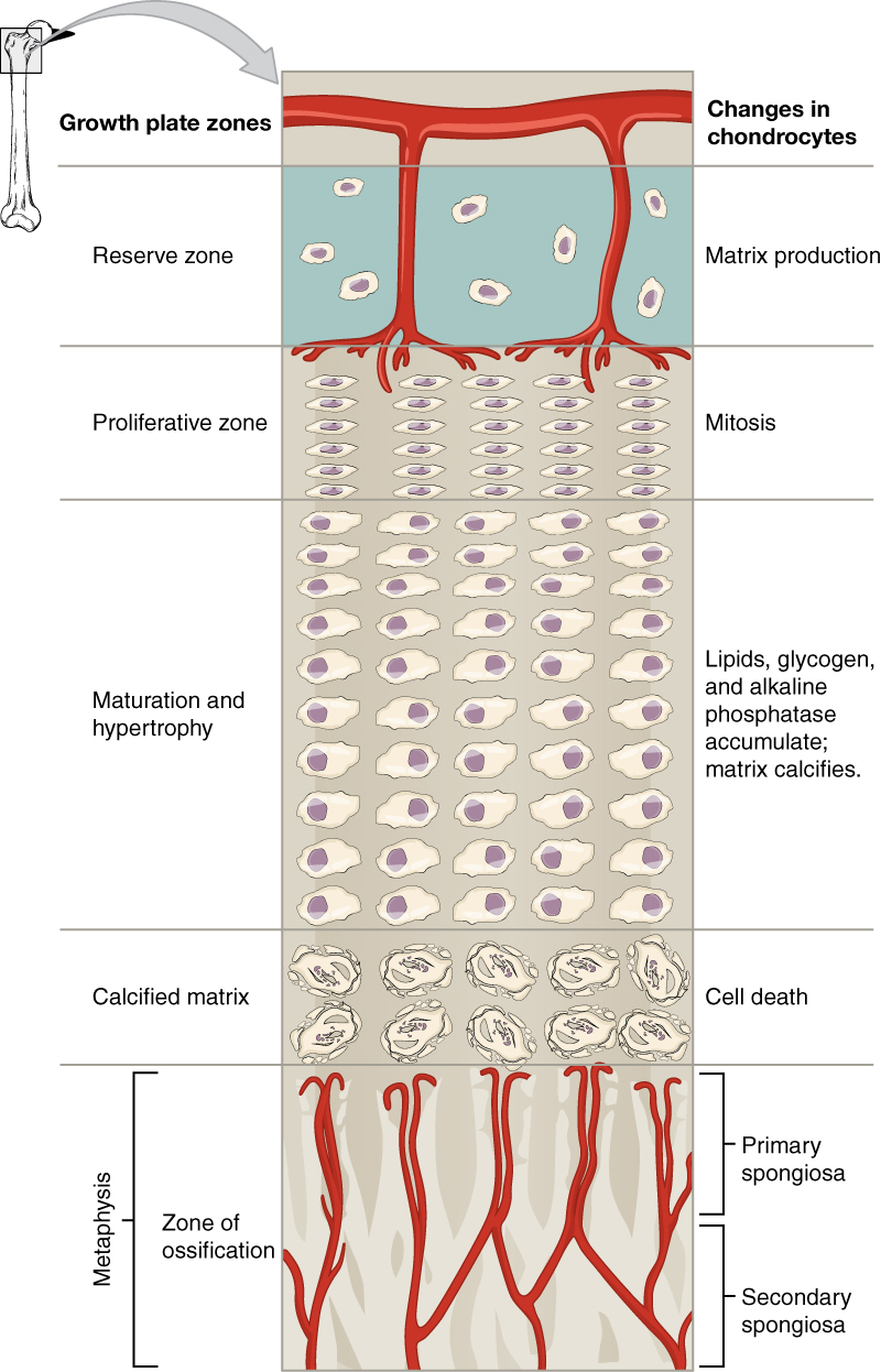 Anatomy and Physiology - Bone Formation and Development