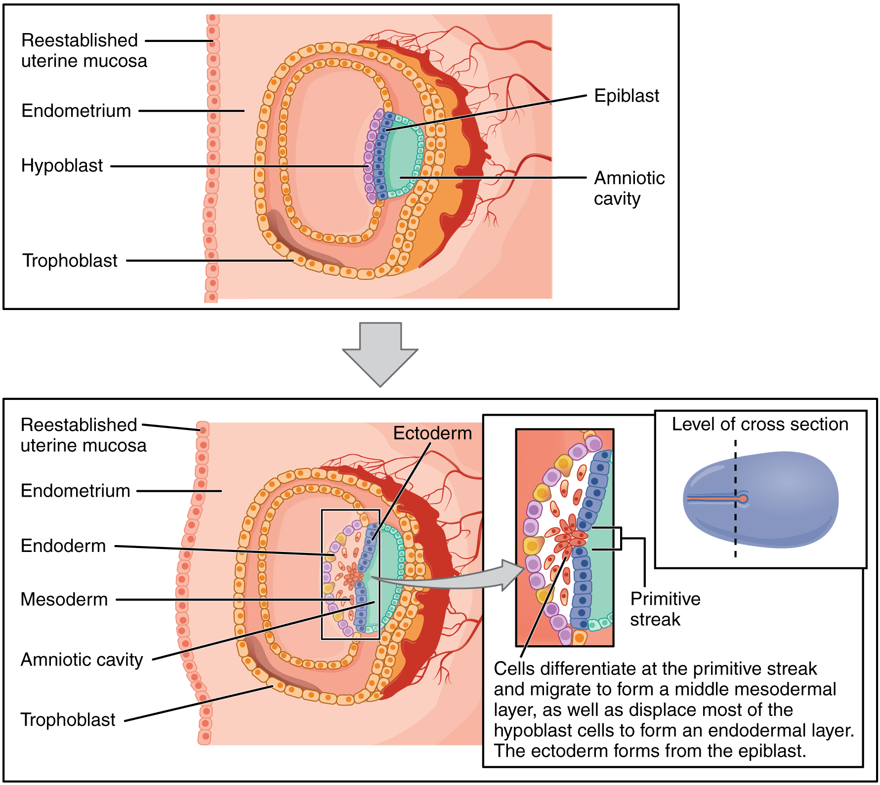 Anatomy And Physiology Embryonic Development