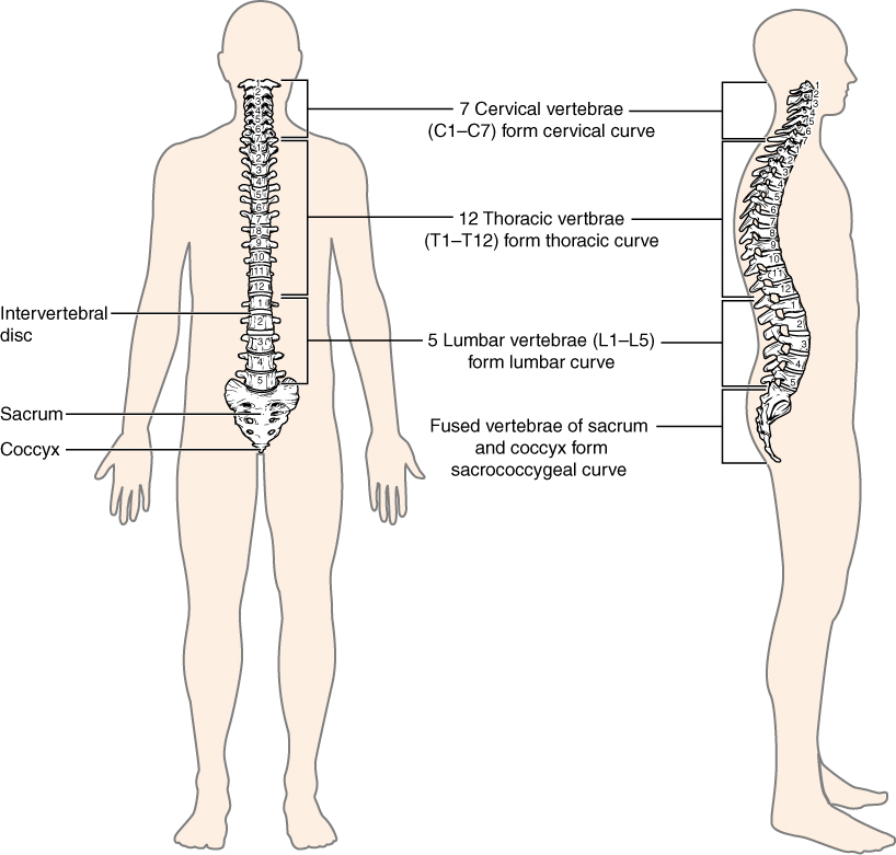 Anatomy and Physiology - The Vertebral Column