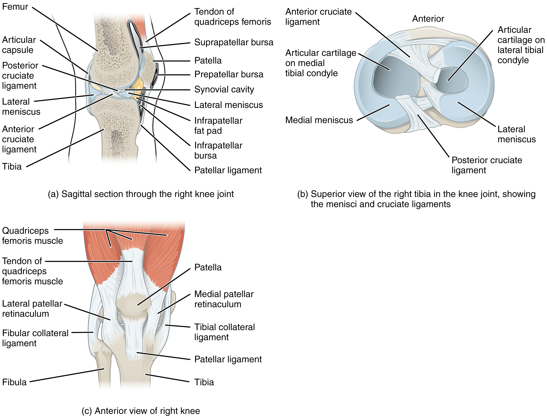 Anatomy and Physiology - Anatomy of Selected Synovial Joints