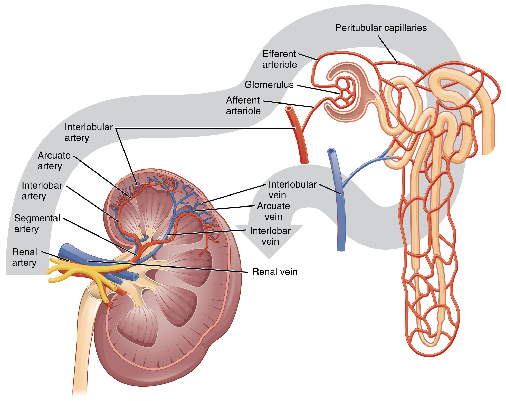 Anatomy and Physiology - Gross Anatomy of the Kidney