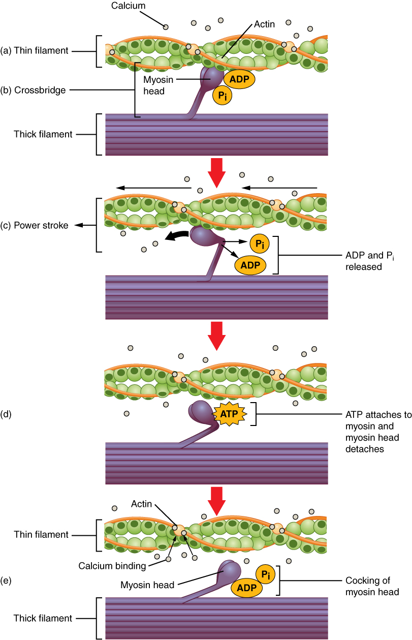 Anatomy And Physiology Muscle Fiber Contraction And Relaxation
