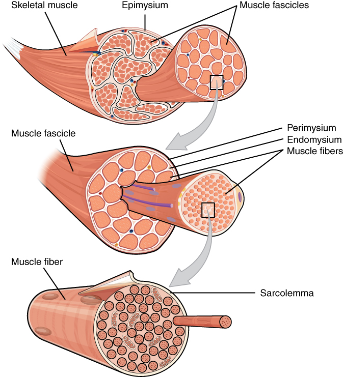 Anatomy and Physiology - Skeletal Muscle