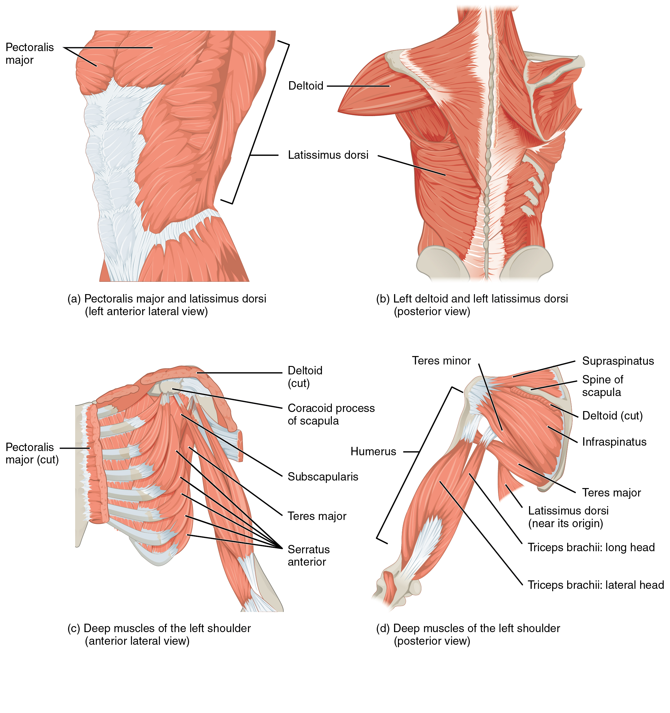 Anatomy and Physiology - Muscles of the Pectoral Girdle and Upper Limbs