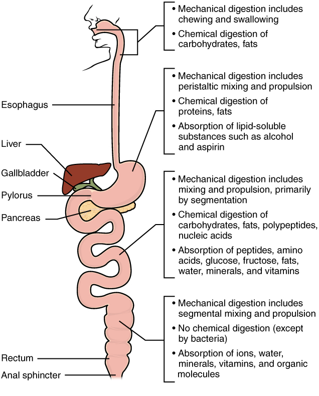Anatomy and Physiology Chemical Digestion and Absorption