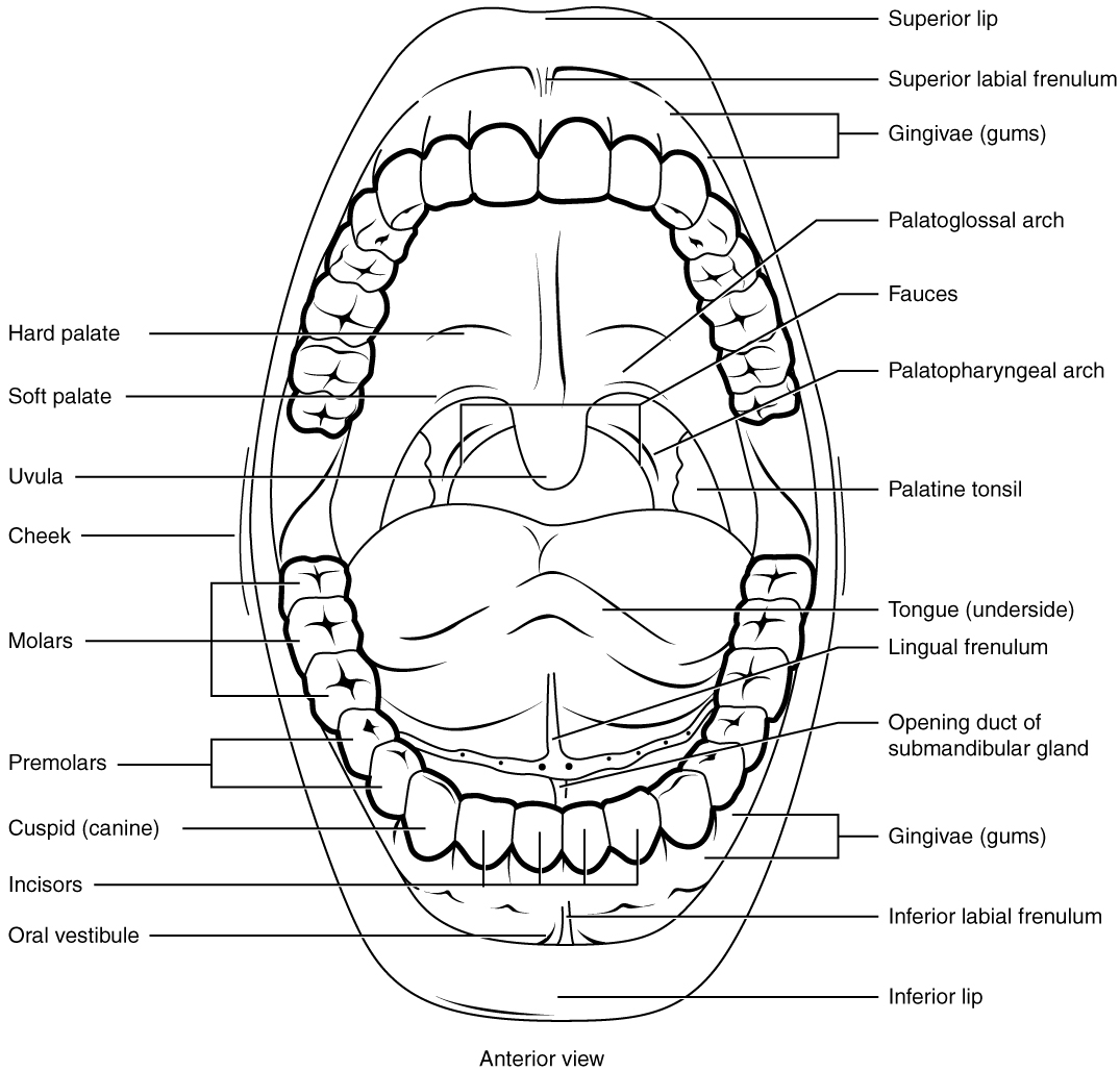 Anatomy and Physiology - The Mouth, Pharynx, and Esophagus