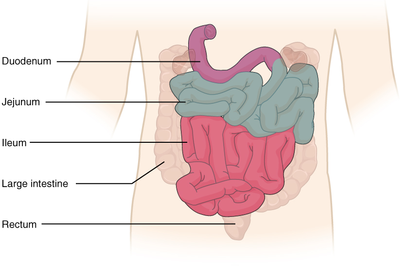 anatomy and physiology the small and large intestines : ileum labeled diagram - findchart.co