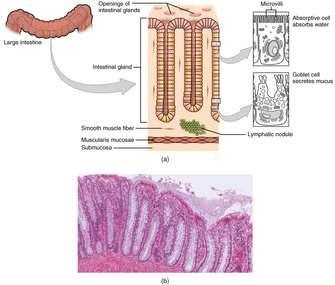 Anatomy And Physiology The Small And Large Intestines