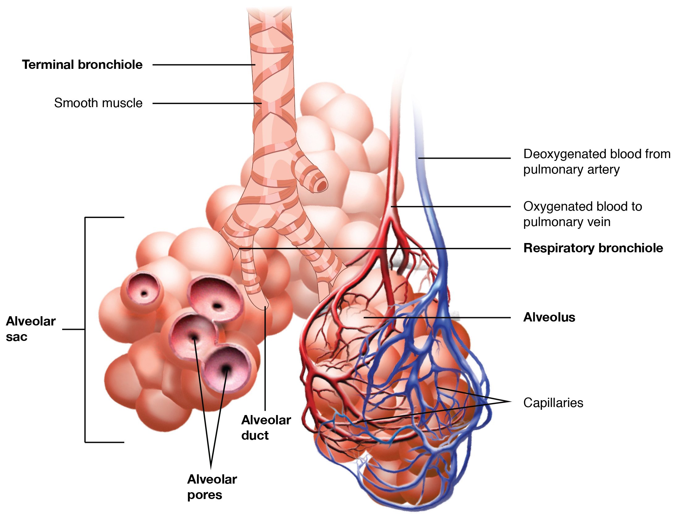 Anatomy and Physiology - Organs and Structures of the Respiratory System