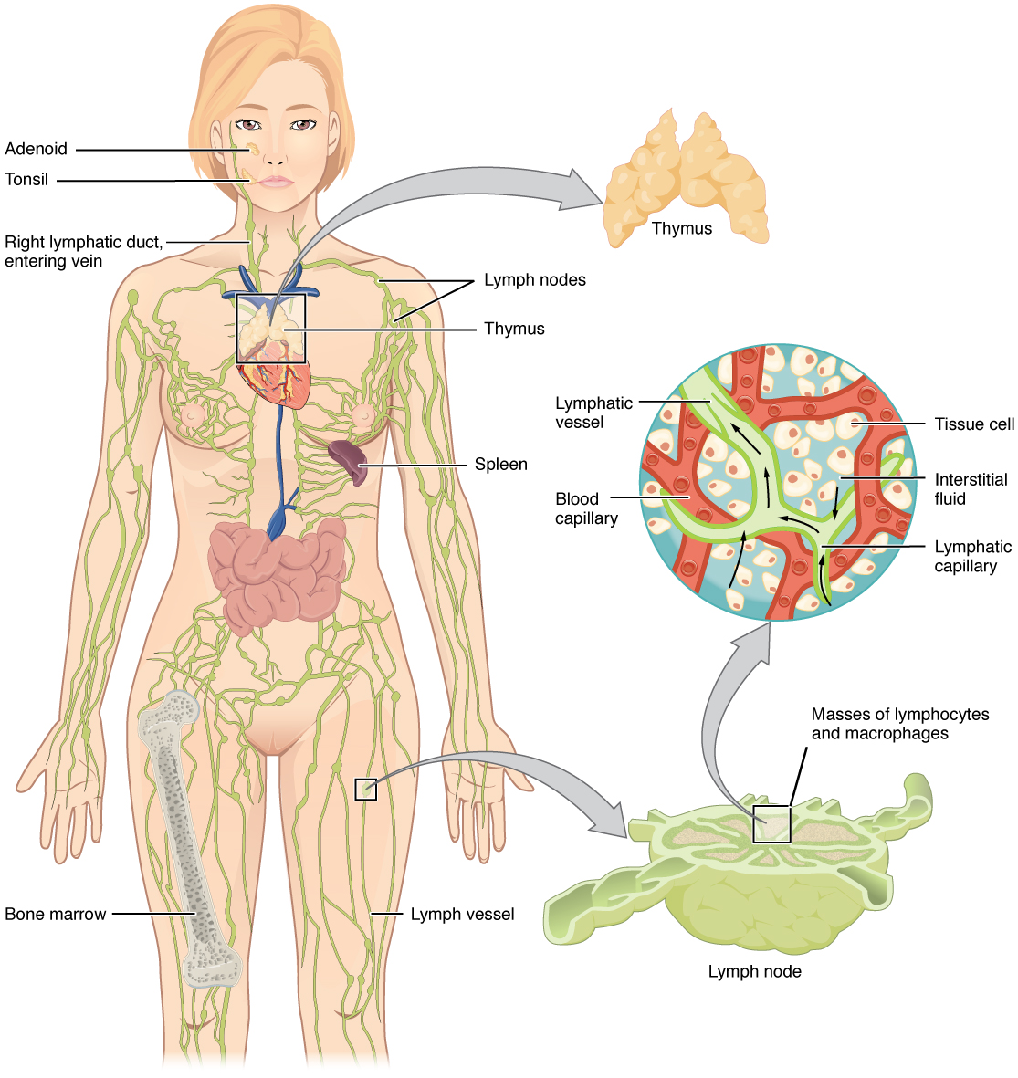 Anatomy and Physiology - Anatomy of the Lymphatic and Immune Systems