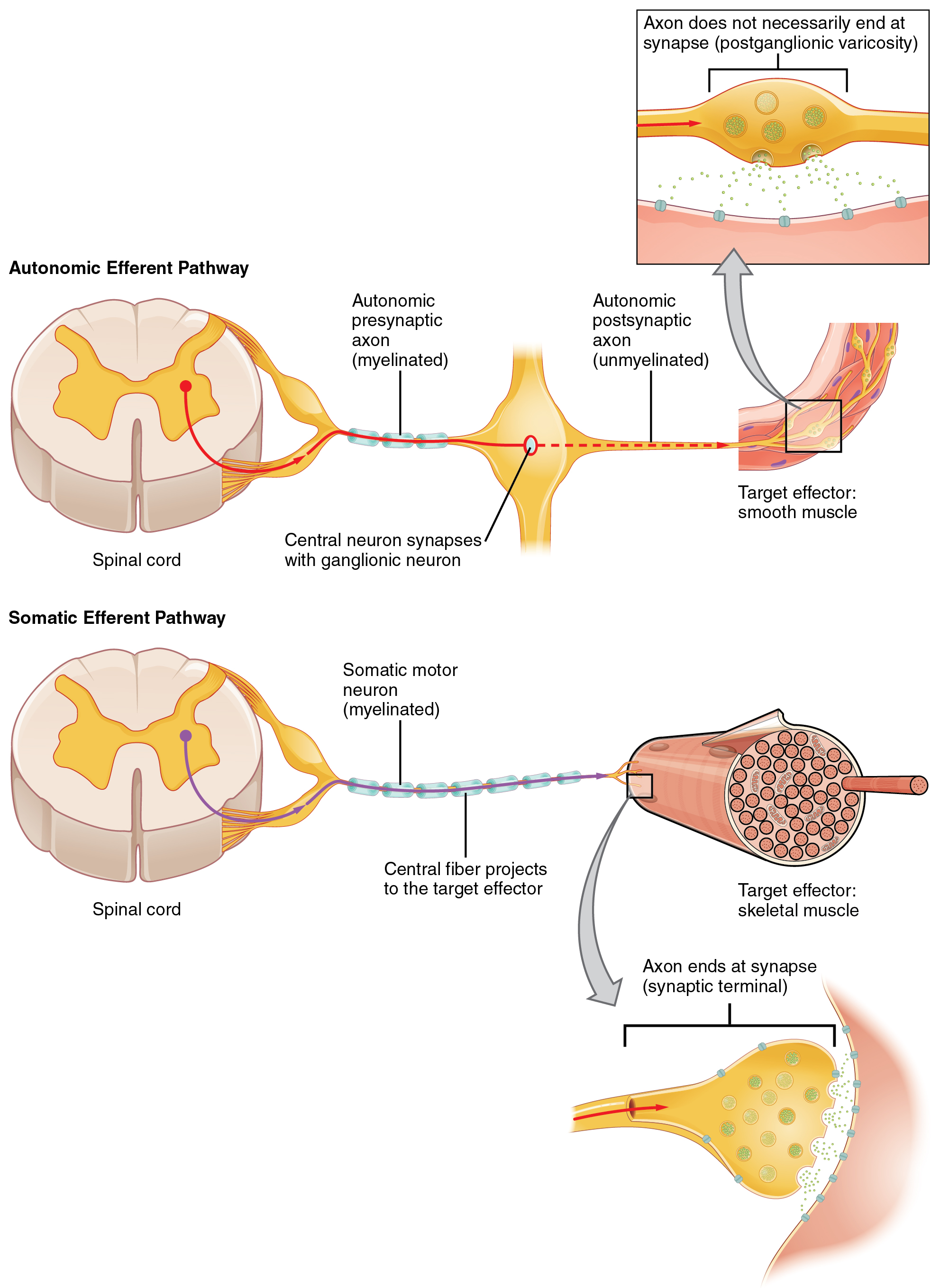Anatomy and Physiology - Autonomic Reflexes and Homeostasis