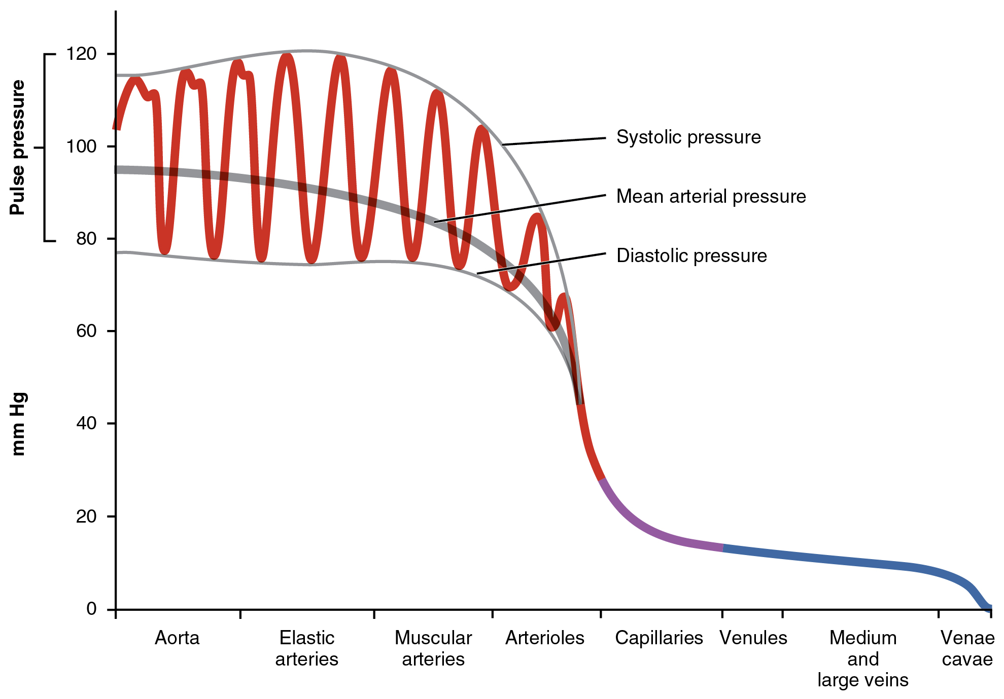 Anatomy and physiology blood flow blood pressure and resistance this graph shows the value of pulse pressure in different types of blood vessels fandeluxe Choice Image