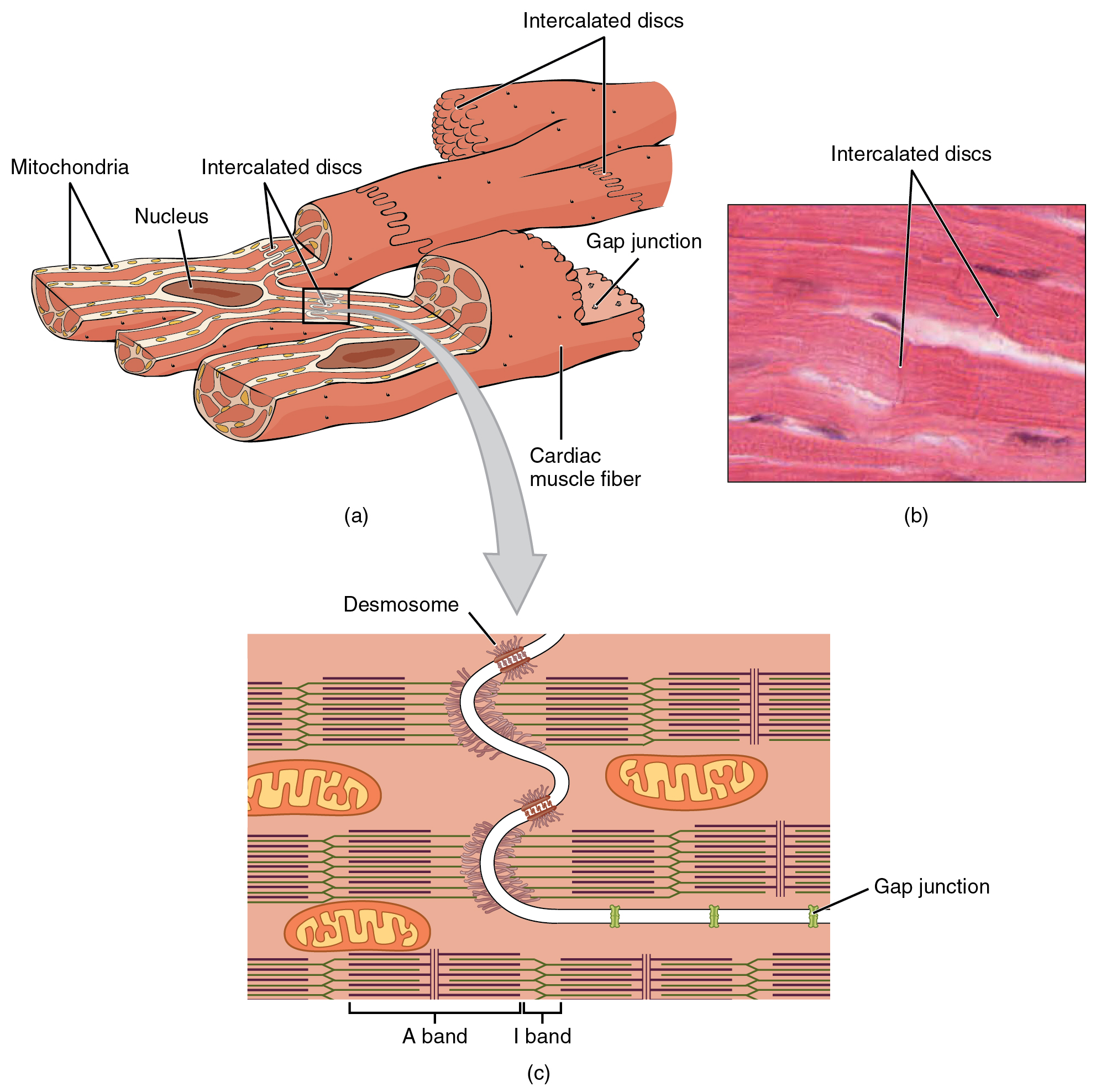 Anatomy and Physiology - Cardiac Muscle and Electrical Activity