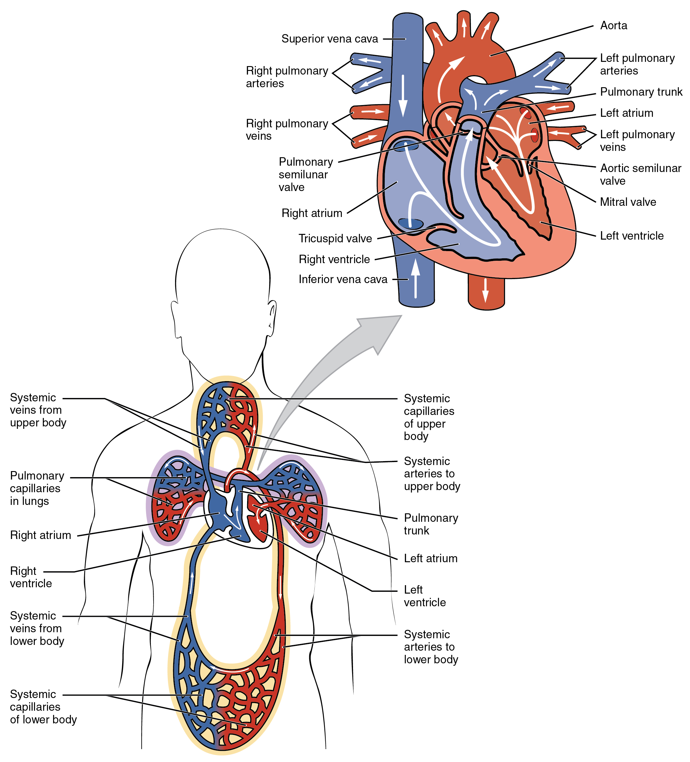 Anatomy and physiology heart anatomy the top panel shows the human heart with the arteries and veins labeled the bottom fandeluxe Choice Image