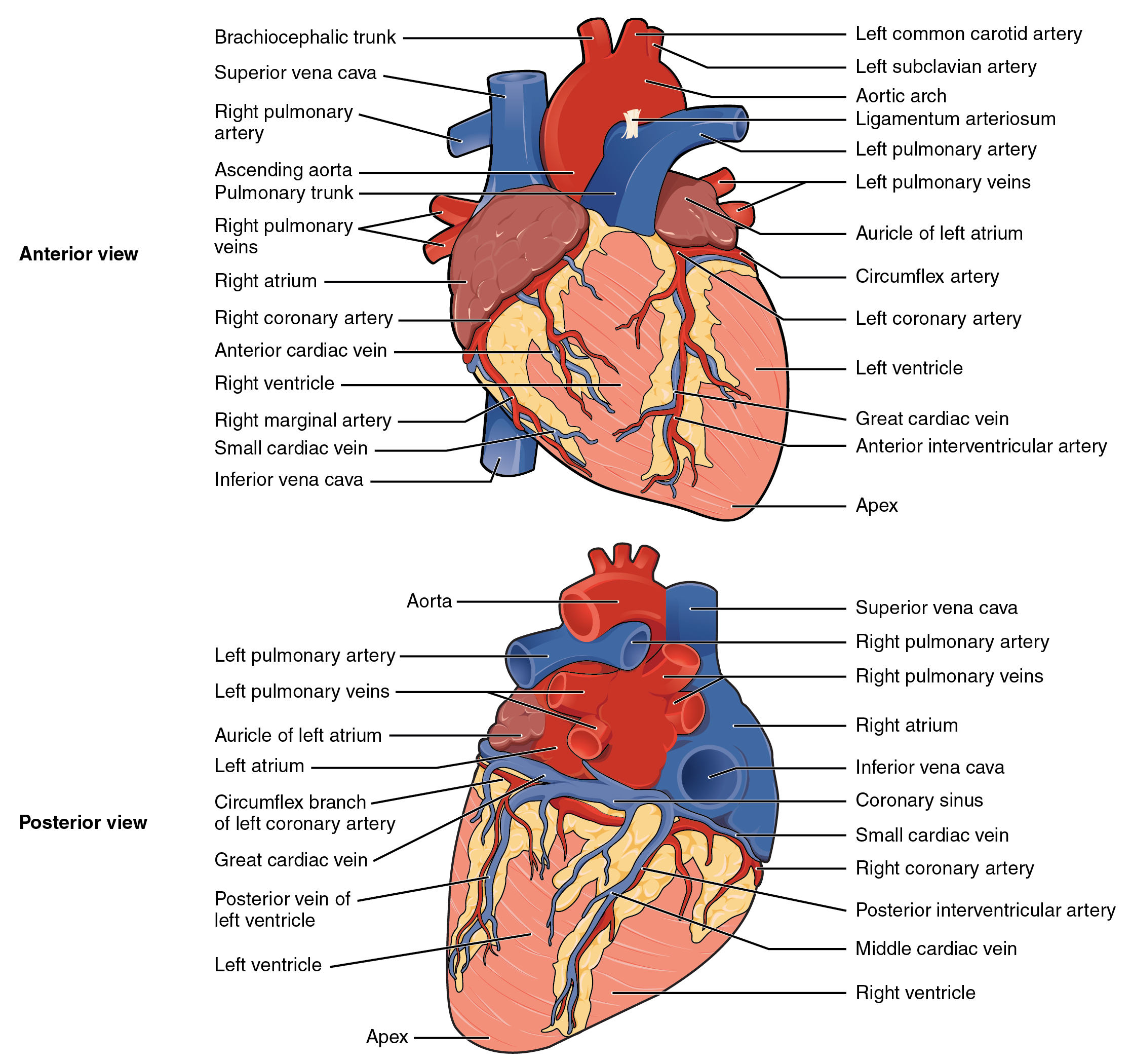 Anatomy and Physiology - Heart Anatomy
