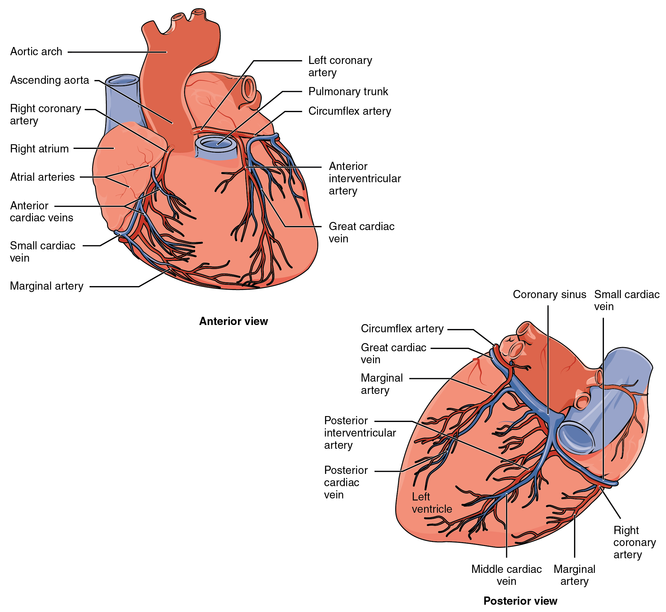 Anatomy and physiology heart anatomy the top panel of this figure shows the anterior view of the heart while the bottom fandeluxe Choice Image