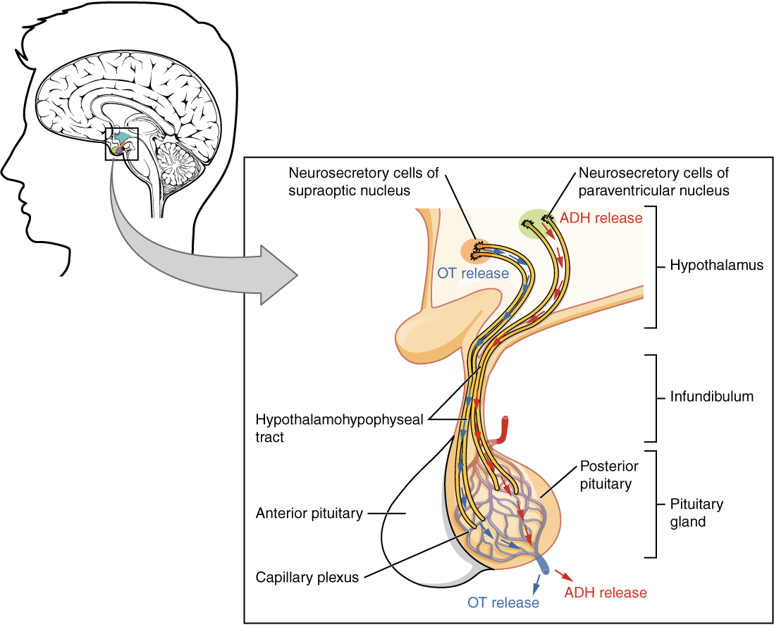 Anatomy and Physiology - The Pituitary Gland and Hypothalamus