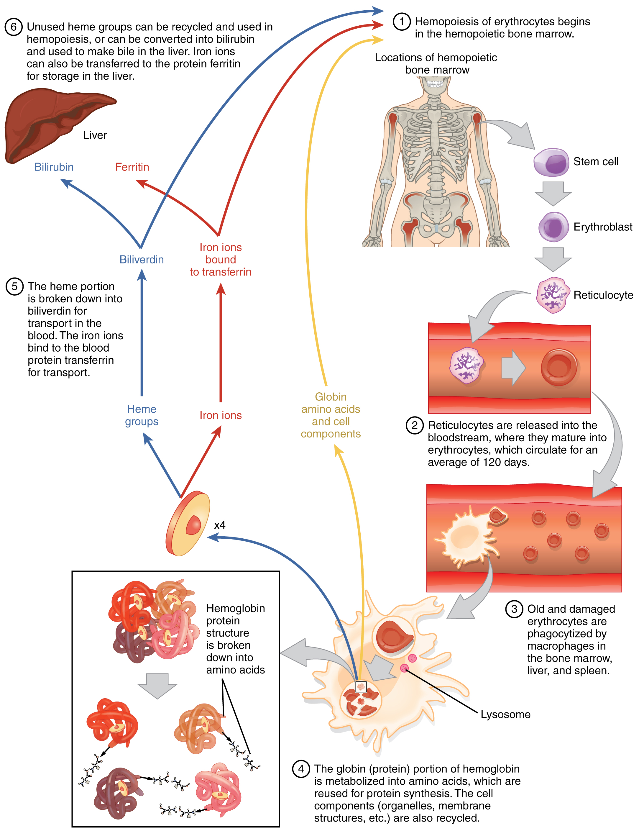 in adults erythrocytes are produced in the