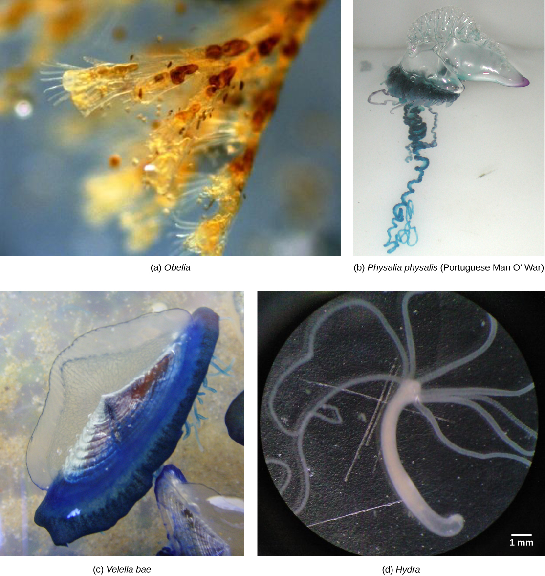 Biology - Phylum Cnidaria