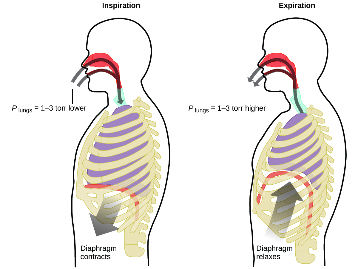"""This figure contains two diagrams of a cross section of the human head and torso. The first diagram on the left is labeled """"Inspiration."""" It shows curved arrows in gray proceeding through the nasal passages and mouth to the lungs. An arrow points downward from the diaphragm, which is relatively flat, just beneath the lungs. This arrow is labeled """"Diaphragm contracts."""" At the entrance to the mouth and nasal passages, a label of P subscript lungs equals 1 dash 3 torr lower"""" is provided. The second, similar diagram, which is labeled """"Expiration,"""" reverses the direction of both arrows. Arrows extend from the lungs out through the nasal passages and mouth. Similarly, an arrow points up to the diaphragm, showing a curved diaphragm and lungs reduced in size from the previous image. This arrow is labeled """"Diaphragm relaxes."""" At the entrance to the mouth and nasal passages, a label of P subscript lungs equals 1 dash 3 torr higher"""" is provided."""