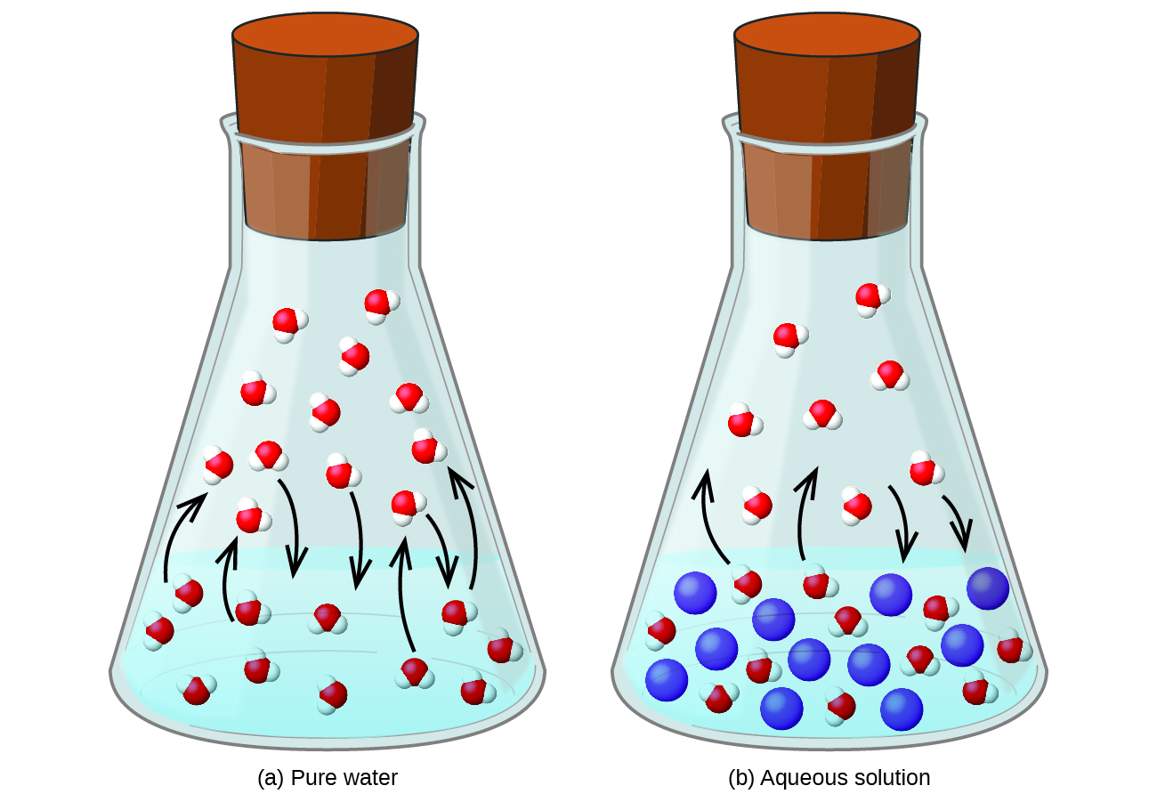 """This figure contains two images. Figure a is labeled """"pure water."""" It shows a beaker half-filled with liquid. In the liquid, eleven molecules are evenly dispersed in the liquid each consisting of one central red sphere and two slightly smaller white spheres are shown. Four molecules near the surface of the liquid have curved arrows drawn from them pointing to the space above the liquid in the beaker. Above the liquid, twelve molecules are shown, with arrows pointing from three of them into the liquid below. Figure b is labeled """"Aqueous solution."""" It is similar to figure a except that eleven blue spheres, slightly larger in size than the molecules, are dispersed evenly in the liquid. Only four curved arrows appear in this diagram with two from the molecules in the liquid pointing to the space above and two from molecules in the space above the liquid pointing into the liquid below."""
